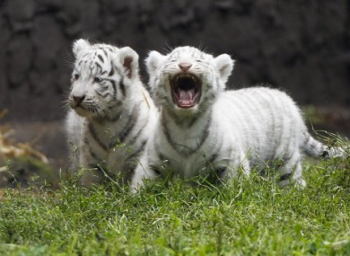 White tigers are extremely rare in the wild.
