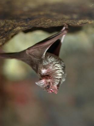 A vampire bat hangs out at the Philadelphia Zoo awaiting its lunch of blood