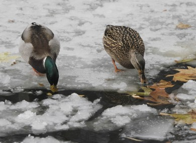 It's bad news for the ducks: temperatures could still hit as low as -10'C tonight.