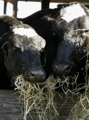File photo of cloned dairy cows in the US, December 2006.