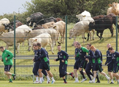 The Northern Ireland players are joined by local cows during training in Dublin earlier.
