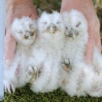 Tawny owl chicks are measured, tagged and weighed as part of a 30-year conservation program to increase their population in Kielder forest, England. (Pic: Owen Humphreys/PA Images)