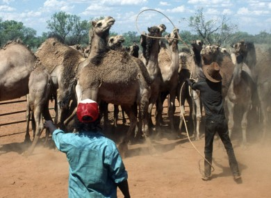 File photo of wild camels being roped by ranchers in Australia