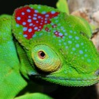 One of the 11 new chameleon species discovered on the island recently, the male and female of this species are both very striking, with brightly-coloured markings. (Image: Jorn Kohler/WWF Madagascar)