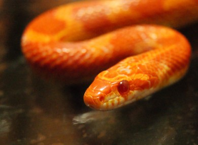A corn snake similar to the one found by Joe Conroy