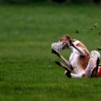A hare gives two greyhounds the slip at the Irish National Coursing Championships at Clonmel Racecourse in Co Tipperary in 2006.