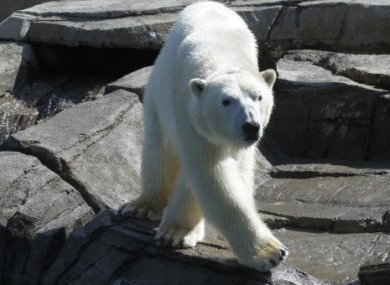 Scientists have traced polar bears' roots back to Ireland.