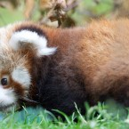 Red pandas have thick, dense fur and a long, bushy tail to keep them warm.