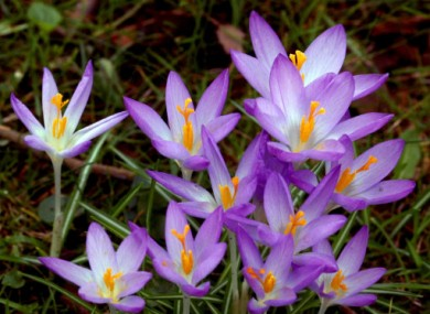 File photo of British crocuses.