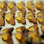 A collection of butterflies on display pins. (2009 auction)