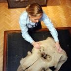 A 19th century African elephant skull. (2010 auction)