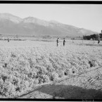 Fields at the Manzanar Relocation Center. (Library of Congress, Prints & Photographs Division)