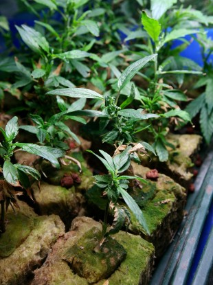 File photo of cannabis plants being cultivated in a hydroponics factory near Canterbury, Kent.