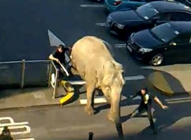 Handlers try to capture an elephant who escaped from the same circus earlier this week.