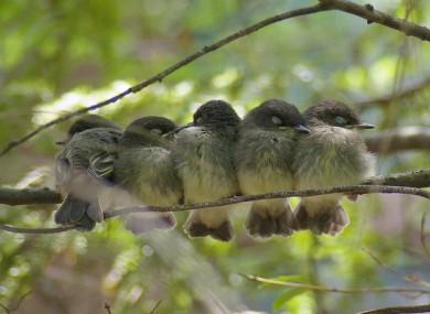 Five sleepy Phoebe Fledglings.