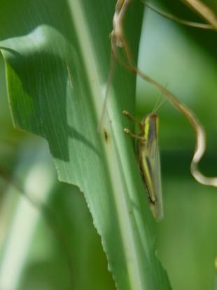 A locust featsing on a maize leaf