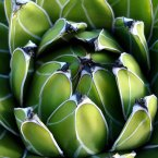 Agave nectar: From the same plant used in the making of tequila, Agave nectar can be used as a natural sweetener. (gaeti/Flickr)