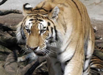 A Siberian tiger similar to those at the Copenhagen zoo