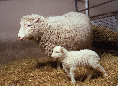 cloning dolly the sheep Dolly, the world's most famous and controversial sheep, was born twenty years ago – on july 5, 1996 to be precise she was the first mammal to enter the world.