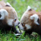 These twin red panda cubs were born in June to parents Angelina and Chota. (Image: Dublin Zoo/Patrick Bolger Photography 2012)