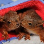 These five-week-old squirrel kittens cosy up in a blanket, swearing they won't