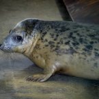 Rosie the grey seal, recently nursed back to health by Tayo Park before being released into the wild. Image: Simon McDermott/Photocall Ireland