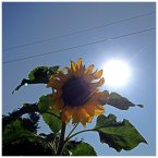 Sunflower at Brookville House.