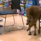 """""""I was behind the counter, and then Lisa said 'There's a kangaroo in the shop' and I just kept on doing what i was doing. I thought it was a bit of a joke."""" Johnson Law describes the moment he and his collegues realised there was a kangaroo loose in their pharmacy in Melbourne Airport, Australia.<span class="""