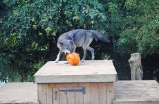 A wolf has escaped from a zoo in Essex