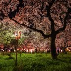 "In Japan the nighttime viewing of cherry blossoms in spring, like these at Kyoto's Hirano Shrine, is a special event. ""The cherries' only fault: the crowds that gather when they bloom,"" wrote Saigyo, a 12th-century poet.<span class="