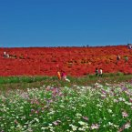 Stroll through Hitachi Seaside Park in Ibaraki, Japan, a 470-acre reserve filled with gorgeous flowers that bloom year-round. It's especially known for its burning bush plants and daffodils.<span class=
