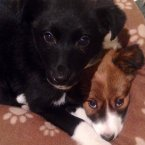 The beautiful Cassie minding her sister Sasha. Both are in foster with Ella and doing great. Little collie pups looking for their forever homes, says CDAWG.