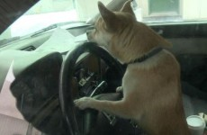 Joyriding Chihuahua crashes owner's car into an unsuspecting driver