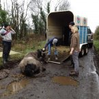 Volunteers attempt to move the surviving horse.<span class=
