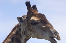 Zoo kills healthy young giraffe despite protests