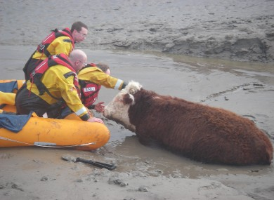 RNLIL rescue a cow reported as stuck in mud on the river bank.