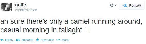 camel4
