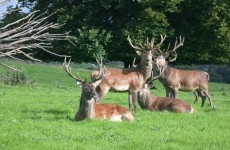 Red deer from Kerry could be introduced to the Phoenix Park