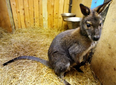 File photo of a cute lil' wallaby