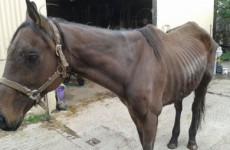 Horses that may have entered the food chain are now being abandoned and dying – ISPCA