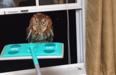 Watch this man help a nervous owl out of his kitchen, using a Swiffer