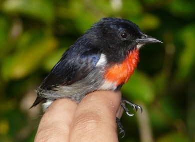 The male Wakatobi Flowerpecker