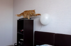 Cat versus balloon just can't end well