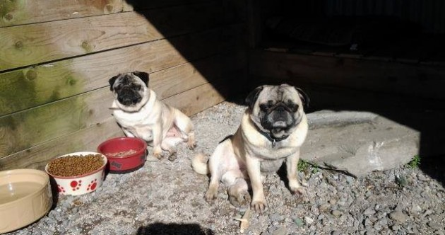 Puppies, pugs and birds stolen from Kerry pet farm
