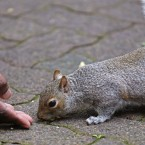A man's hand, as he feeds a squirrel nuts in Company Gardens a heritage site located in the city center of Cape Town, South Africa.<span class=