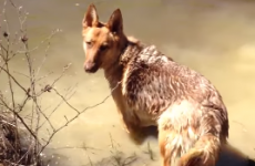 Dog throws an actual tantrum when it's time to stop swimming