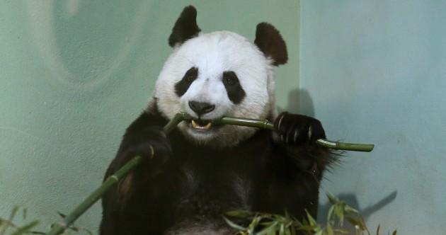 "Edinburgh Zoo's panda is ""no longer pregnant"""