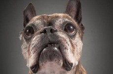 Beautiful photography project focuses on old, wise dogs