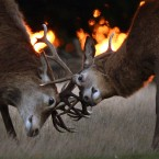 Deer stags practice their rutting at dawn in the long grass in Richmond Park, London.<span class=