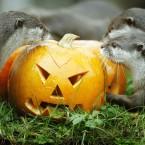 Asiatic short-clawed otters enjoying some pumpkins at Edinburgh Zoo.<span class=